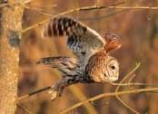 Barred Owl flying